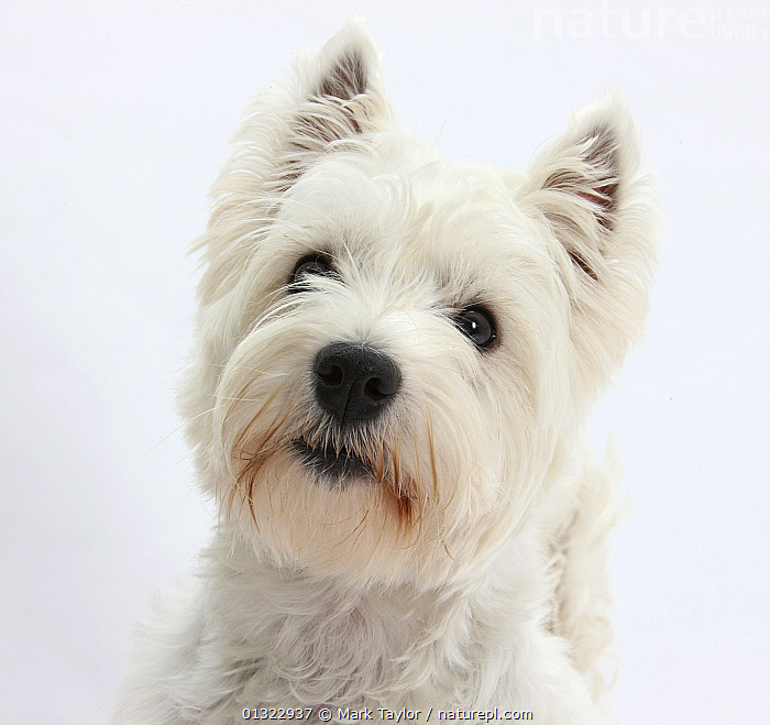 Portrait of a West Highland White Terrier.  ,  CANIDS,CUTE,CUTOUT,DOGS,LOOKING AT CAMERA,PETS,PORTRAITS,SMALL DOGS,STUDIO,TERRIERS,VERTEBRATES,WESTIE,WESTIES,WHITE  ,  Mark Taylor