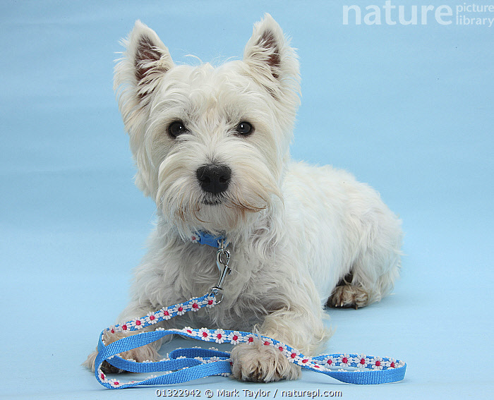 West Highland White Terrier with her lead, against a blue background.  ,  BLUE,CANIDS,CUTE,CUTOUT,DOGS,LOOKING AT CAMERA,LYING,PETS,PORTRAITS,SMALL DOGS,STUDIO,TERRIERS,VERTEBRATES,WESTIE,WESTIES,WHITE  ,  Mark Taylor