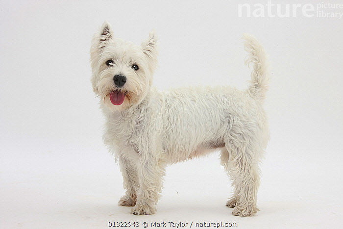 West Highland White Terrier standing.  ,  CANIDS,CUTE,CUTOUT,DOGS,EXPRESSIONS,LOOKING AT CAMERA,PETS,PORTRAITS,PROFILE,SMALL DOGS,STUDIO,TERRIERS,VERTEBRATES,WESTIE,WESTIES,WHITE  ,  Mark Taylor