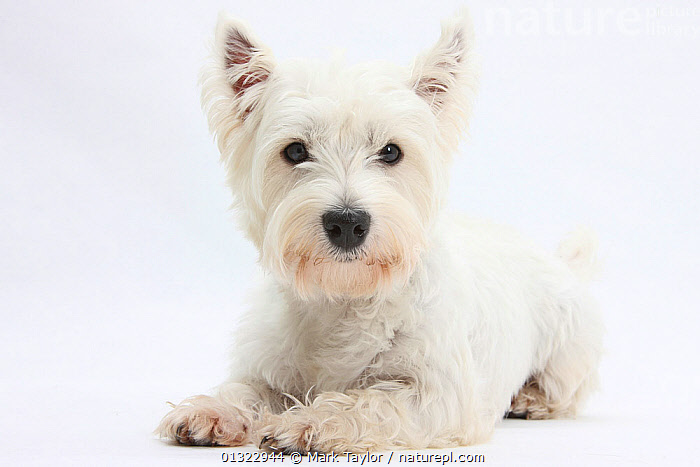 RF- West Highland White Terrier lying with head up. (This image may be licensed either as rights managed or royalty free.)  ,  CANIDS,CUTE,CUTOUT,DOGS,looking at camera,lying,PETS,PORTRAITS,small dogs,Studio,terriers,VERTEBRATES,westie,westies,,CANIS FAMILIARIS,Canis familiaris,Alertness,Confidence,Cute,Adorable,Colour,White,Nobody,Copy Space,Plain Background,White Background,Animal,Indoors,Studio Shot,Domestic animal,Pet,Domestic Dog,Terrier,Domesticated,Canis familiaris,Dog,Direct Gaze,Negative space,Mammal,RF,Royalty free,RFCAT1,RF17Q1,,,eye contact,  ,  Mark Taylor