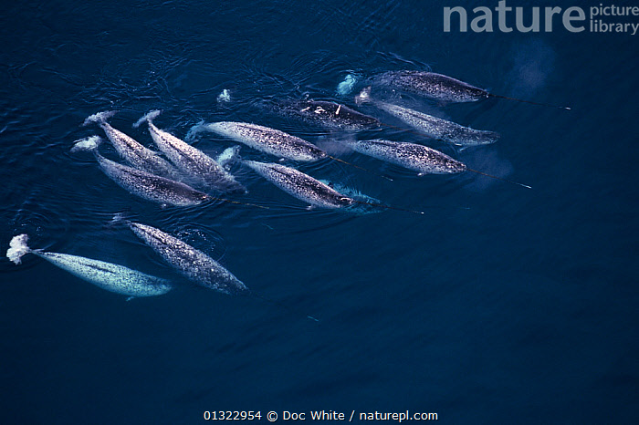 Group of Narwhals (Monodon monoceros) swimming near the surface, seen from the air. Pond Inlet, Canadian Arctic  ,  AERIALS,ARCTIC,CANADA,CETACEANS,GROUPS,MAMMALS,MARINE,OCEANS,SCHOOL,SWIMMING,VERTEBRATES,WHALES,North America  ,  Doc White