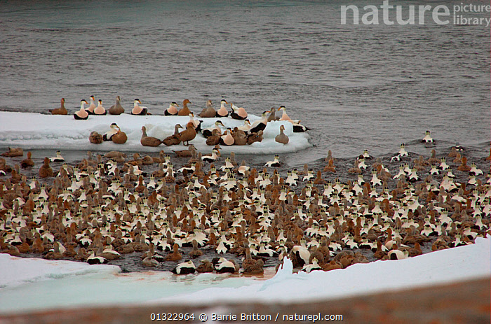 """Eider (Somateria mollissima) flock roosting in a polynya, an ice hole kept open in the frozen sea by tidal currents. Belcher Islands, Hudson Bay, Canada. Picture taken during filming for the BBC """"Planet Earth"""" TV Series, March 2006.  ,  BIRDS,CANADA,DUCKS,FLOCKS,GROUPS,OCEANS,roost,VERTEBRATES,WATERFOWL,North America  ,  Barrie Britton"""
