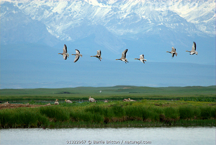 """Bar-headed Geese (Anser indicus) in flight over Bayinbuluke Swan Lake Nature Reserve. Xinjiang, China. Picture taken during filming of BBC """"Wild China"""" TV Series, June 2006.  ,  BIRDS,CHINA,FLYING,GEESE,GROUPS,LANDSCAPES,MOUNTAINS,RIVERS,VERTEBRATES,WATERFOWL,Asia,Wildfowl  ,  Barrie Britton"""