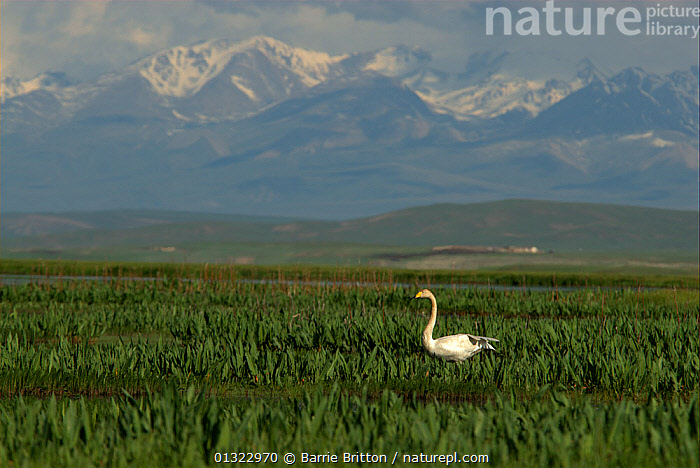 Whooper swan (Cygnus cygnus) in Bayinbuluke Swan Lake Nature Reserve. Xinjiang, China.
