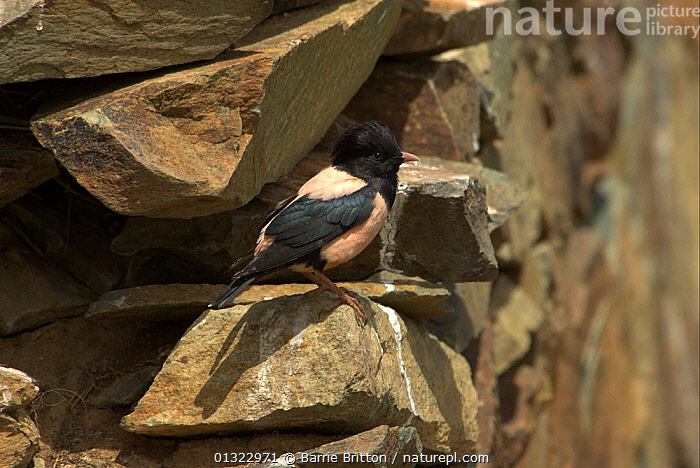 """Rosy starling (Sturnus roseus) by nesting hole in stone wall, Western China. Picture taken during filming for BBC """"Wild China"""" TV Series, June 2006.  ,  BIRDS,CHINA,NESTS,Perching,songbirds,STARLINGS,VERTEBRATES,Asia  ,  Barrie Britton"""