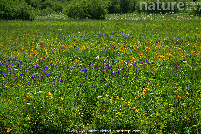 """Mountain flower meadow, Mount Changbai National Park, North-east China. Picture taken during filming for BBC """"Wild China"""" TV Series, July 2006.  ,  ASIA,CHINA,FLOWERS,GRASSLAND  ,  Barrie Britton"""