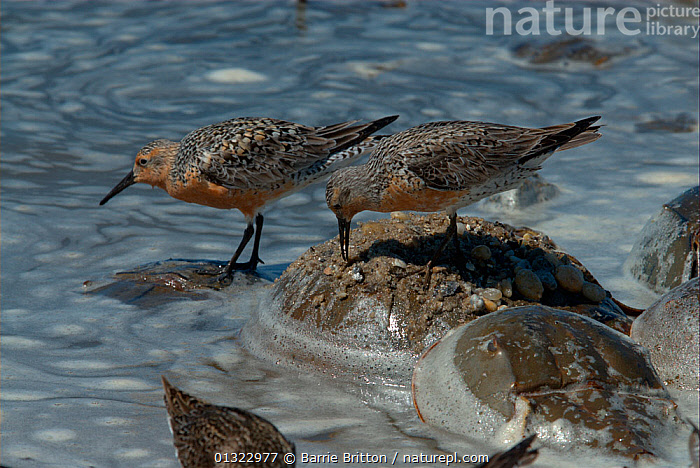 """Red Knot (Calidris canutus rufa) feeding on the backs of Atlantic Horseshoe Crabs (Limulus polyphemus). Red knots' spring migration coincides with the spawning of the crabs. Mispillion Harbour Reserve, Delaware Bay, USA. Picture taken during filming for BBC """"Life"""" TV Series, May 2008.  ,  BIRDS,COASTS,EGGLAYING,FEEDING,OCEANS,red knot,SANDPIPERS,USA,VERTEBRATES,WADERS,North America  ,  Barrie Britton"""