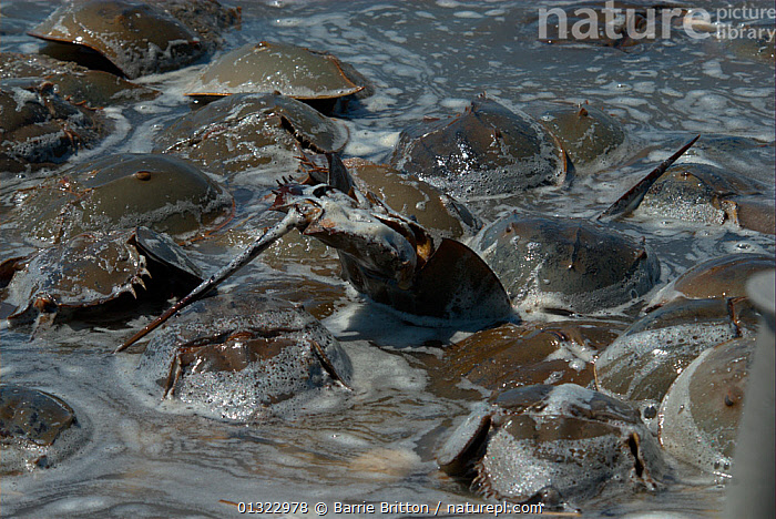 """Atlantic horseshoe crabs (Limulus polyphemus) spawing. The water is foamy from large quantity of milt released. Mispillion Harbour, Delaware Bay, USA. Picture taken during filming for BBC """"Life"""" TV Series, May 2008  ,  ARTHROPODS,COASTS,EGGLAYING,FEEDING,fertilisation,GROUPS,HORSESHOE CRABS,INVERTEBRATES,MARINE,OCEANS,SWIMMING,USA,North America  ,  Barrie Britton"""
