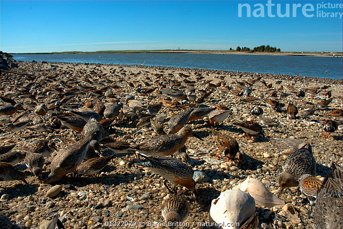 """Shorebirds feeding on the eggs of Atlantic Horseshoe Crabs (Limulus polyphemus). Includes Red knot (Calidris canutus rufa), Ruddy turnstone (Arenaria interpres), Dunlin (Calidris alpina) and Semipalmated sandpiper (Calidris pusilla). Mispillion Harbour, Delaware Bay, USA. Picture taken during filming for BBC """"Life"""" TV Series, May 2008  ,  BEACHES,BIRDS,COASTS,GROUPS,MIXED SPECIES,red knot,SANDPIPERS,USA,VERTEBRATES,WADERS,North America  ,  Barrie Britton"""