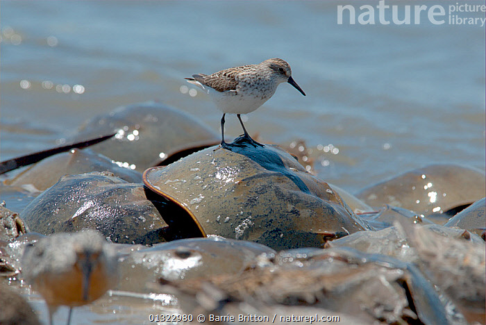 """Semipalmated sandpiper (Calidris pusilla) standing on the back of spawning Atlantic horseshoe crabs (Limulus polyphemus). The Sandpipers feed on the Crabs' eggs. Mispillion Harbour, Delaware Bay, USA. Picture taken during filming for BBC """"Life"""" TV Series, May 2008  ,  BIRDS,COASTS,GROUPS,OCEANS,SANDPIPERS,STANDING,USA,VERTEBRATES,WADERS,North America  ,  Barrie Britton"""