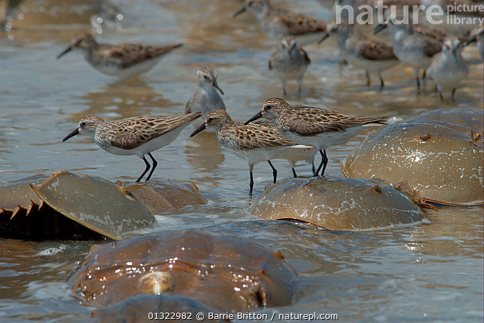 """Semipalmated sandpipers (Calidris pusilla) standing on the backs of spawning Atlantic horseshoe Crabs (Limulus polyphemus). The Sandpipers feed on the crabs' eggs. Mispillion Harbour, Delaware Bay, USA. Picture taken during filming for BBC """"Life"""" TV Series, May 2008  ,  BIRDS,COASTS,OCEANS,SANDPIPERS,STANDING,USA,VERTEBRATES,WADERS,North America  ,  Barrie Britton"""