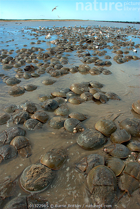"Mass spawning of Atlantic horseshoe crabs (Limulus polyphemus), Mispillion Harbour Reserve, Delaware Bay, USA. Picture taken during filming for BBC ""Life"" TV Series, May 2008  ,  ARTHROPODS,BEACHES,COASTS,EGGLAYING,GROUPS,HORSESHOE CRABS,INVERTEBRATES,MARINE,USA,VERTICAL,North America  ,  Barrie Britton"