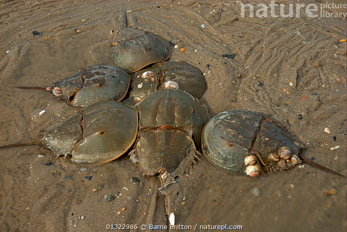 """Male Atlantic horseshoe crabs (Limulus polyphemus) cluster around egg-laying female. Mispillion Harbour, Delaware Bay, USA. Picture taken during filming for BBC """"Life"""" TV Series, May 2008  ,  ARTHROPODS,BEACHES,EGGLAYING,FEMALES,HORSESHOE CRABS,INVERTEBRATES,MALES,MARINE,MATING BEHAVIOUR,TRACKS,USA,North America  ,  Barrie Britton"""
