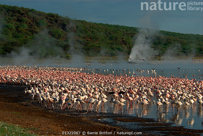 """Lesser flamingos (Phoenicopterus minor) gathered around steaming hot spring. Lake Bogoria, Kenya. Picture taken during filming for BBC """"Life"""" TV Series, May 2008  ,  BIRDS,EAST AFRICA,FLAMINGOS,FLOCKS,GROUPS,LAKES,LANDSCAPES,steam,VERTEBRATES  ,  Barrie Britton"""