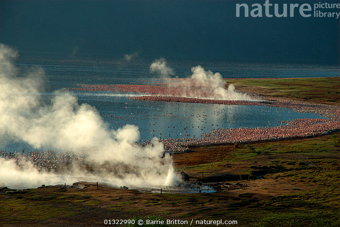"""Lesser Flamingos (Phoenicopterus minor) gathered around steaming hot springs. Lake Bogoria, Kenya. Picture taken during filming for BBC """"Life"""" TV Series, May 2008  ,  BIRDS,EAST AFRICA,FLAMINGOS,FLOCKS,GROUPS,LAKES,LANDSCAPES,steam,VERTEBRATES  ,  Barrie Britton"""