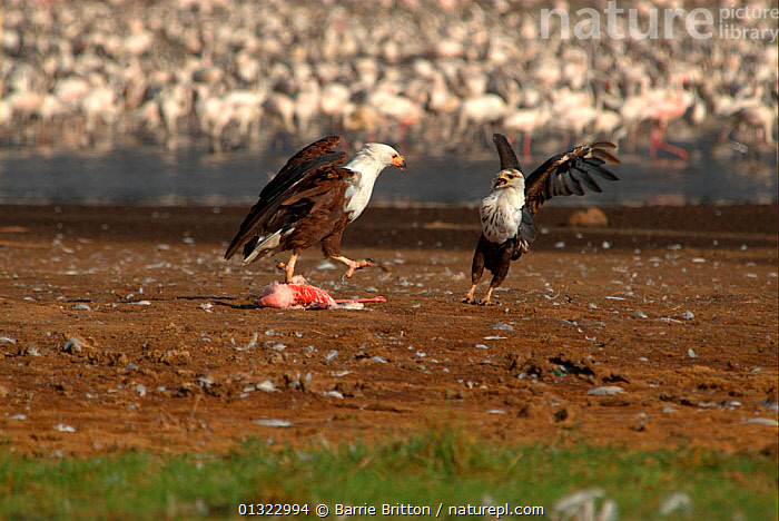 """African fish eagles (Haliaeetus vocifer) squabbling over carcass of Lesser flamingo (Phoenicopterus minor). Lake Bogoria, Kenya. Picture taken during filming for BBC """"Life"""" TV Series, May 2008  ,  BIRDS,BIRDS OF PREY,EAGLES,EAST AFRICA,FEEDING,FIGHTING,VERTEBRATES,Aggression,Raptor  ,  Barrie Britton"""