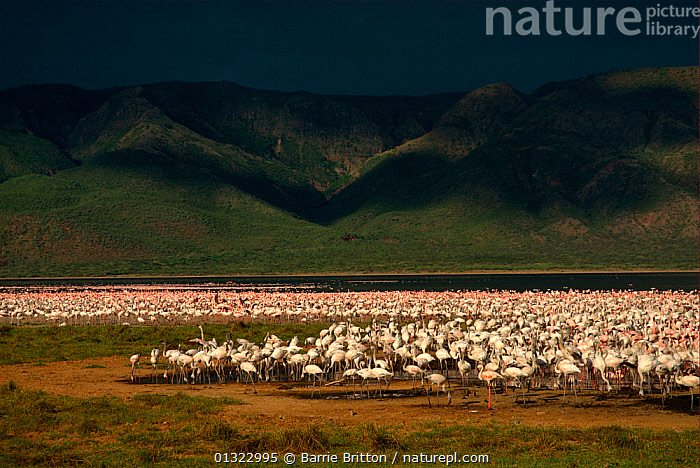 """Lesser flamingos (Phoenicopterus minor) with approaching storm. Lake Bogoria, Kenya. Picture taken during filming for BBC """"Life"""" TV Series, May 2008  ,  BIRDS,EAST AFRICA,FLAMINGOS,FLOCKS,GROUPS,LAKES,LANDSCAPES,MOUNTAINS,STORMS,VERTEBRATES,WEATHER  ,  Barrie Britton"""