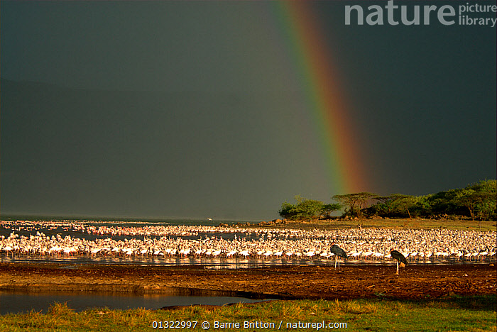 """Lesser flamingos (Phoenicopterus minor) and Marabou storks (Leptoptilos crumeniferus) with rainbow from approaching storm. Lake Bogoria, Kenya. Picture taken during filming for BBC """"Life"""" TV Series, May 2008  ,  BIRDS,EAST AFRICA,FLAMINGOS,FLOCKS,GROUPS,LAKES,LANDSCAPES,RAINBOWS,STORMS,VERTEBRATES,WEATHER  ,  Barrie Britton"""