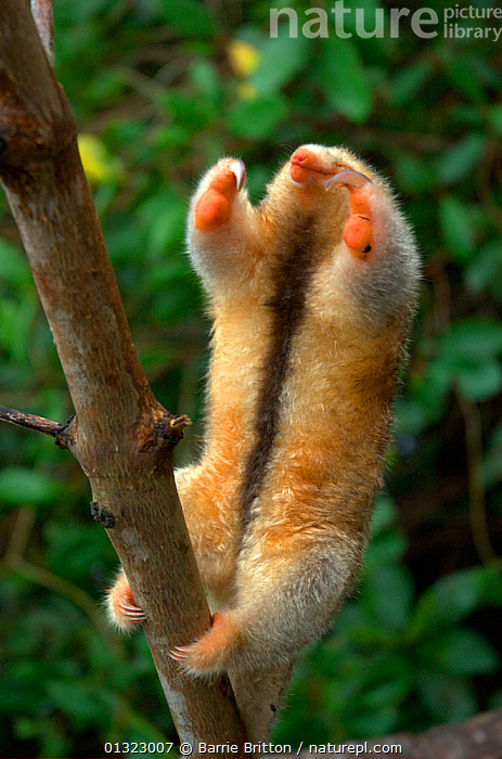 "Silky / pygmy anteater (Cyclopes didactylus) in Caroni Swamp, Trinidad. Picture taken during filming for BBC ""Secrets of the Caribbean"" TV Series, January 2006  ,  ANTEATERS,CARIBBEAN,CLAWS,CUTE,edentates,MAMMALS,STRETCHING,VERTEBRATES,west indies  ,  Barrie Britton"