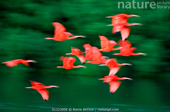 """Scarlet ibis (Eudocimus ruber) in flight, Caroni Swamp, Trinidad. Picture taken during filming for BBC """"Secrets of the Caribbean"""" TV Series, January 2006  ,  ABSTRACT,ACTION,BIRDS,CARIBBEAN,FLYING,IBISES,RED,TROPICAL DRY FOREST,VERTEBRATES,west indies,WETLANDS  ,  Barrie Britton"""