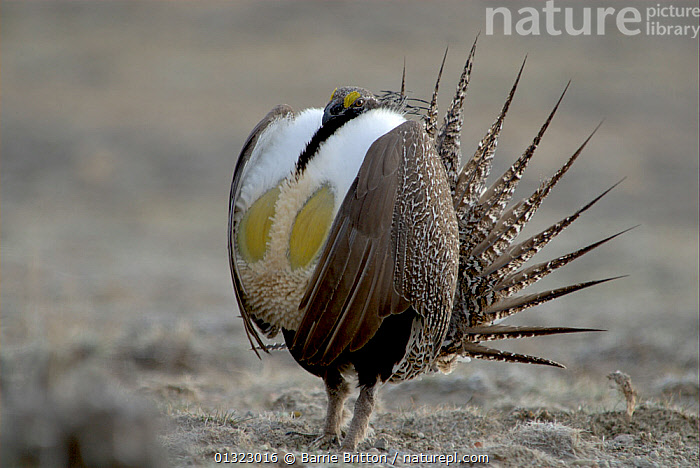 """Male Sage Grouse (Centrocercus urophasianus) displaying at lek. Wyoming, USA. Picture taken during filming for BBC """"Life"""" TV Series, April 2007  ,  BIRDS,catalogue3,close up,CLOSE UPS,COURTSHIP,DISPLAY,displaying,front view,GALLIFORMES,GAME BIRDS,GROUSE,HUMOROUS,humour,lek,male animal,MALES,MATING BEHAVIOUR,Nobody,one animal,outdoors,puffed up,SAGE HEN,showing off,tail feather,USA,VERTEBRATES,WILDLIFE,wyoming,Communication,Concepts,North America  ,  Barrie Britton"""
