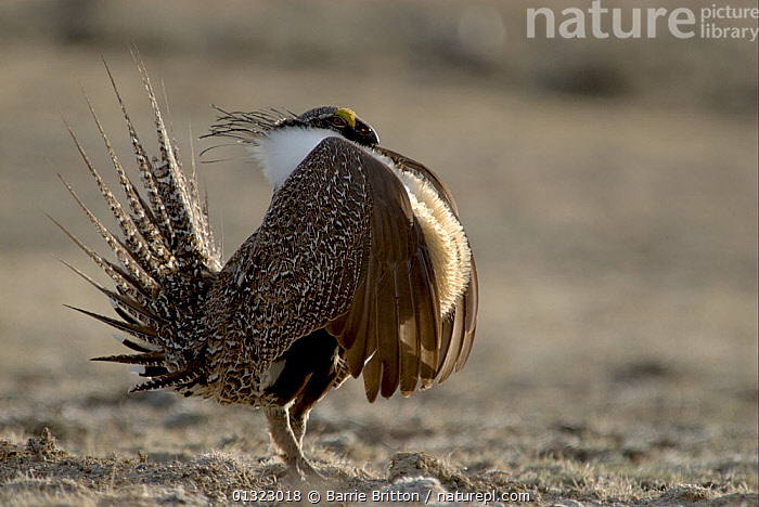 """Male Sage grouse (Centrocercus urophasianus) displaying at lek - side view. Wyoming, USA. Picture taken during filming for BBC """"Life"""" TV Series, April 2007  ,  BIRDS,catalogue3,close up,CLOSE UPS,COURTSHIP,DISPLAY,displaying,full length,GALLIFORMES,GAME BIRDS,GROUSE,lek,male animal,MALES,MATING BEHAVIOUR,Nobody,one animal,outdoors,plumage,pompous,pride,puffed up,SAGE HEN,side view,STANDING,tail feather,USA,VERTEBRATES,WILDLIFE,wyoming,Communication,North America  ,  Barrie Britton"""