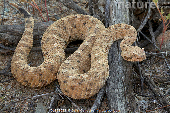 Nature Picture Library Sidewinder Rattlesnake Crotalus Cerates