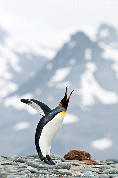 King Penguin (Aptenodytes patagonicus) displaying on the beach front. Salisbury Plain, South Georgia, Antarctica. January, sequence 5/6  ,  ANTARCTICA,beach,BEHAVIOUR,BIRDS,CALLING,catalogue3,close up,CLOSE UPS,COASTS,COLD,COMMUNICATION,differential focus,DISPLAY,displaying,distress,effort,FLIGHTLESS,focus on foregroung,full length,head back,January,MOUNTAINS,Nobody,one animal,open beak,open mouth,outdoors,PENGUINS,Salisbury Plain,SEABIRDS,selective focus,SEQUENCE,side view,snowcapped,SOUTH ATLANTIC ISLANDS,SOUTH GEORGIA,VERTEBRATES,VERTICAL,VOCALISATION,WILDLIFE,WINGS,FALKLAND ISLANDS  ,  Nick Garbutt