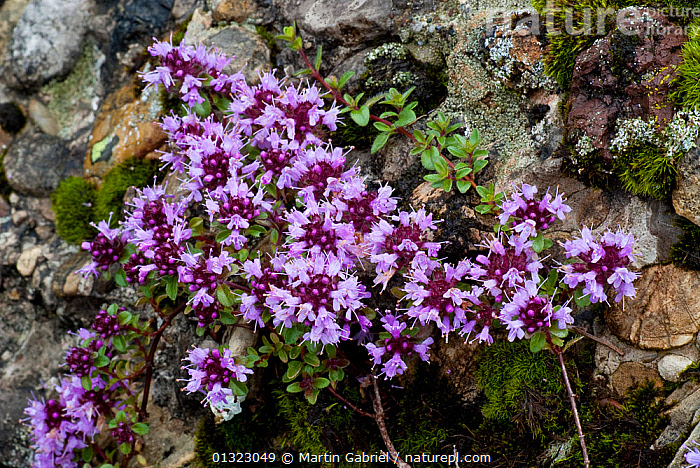 Wild Thyme / Creeping Thyme (Thymus serpyllum) Allgaeu Alps, Bavaria, Germany, July  ,  ALPINE,DICOTYLEDONS,FLOWERS,GERMANY,HERBS,LAMIACEAE,PLANTS,PURPLE,SUMMER,Europe  ,  Martin Gabriel