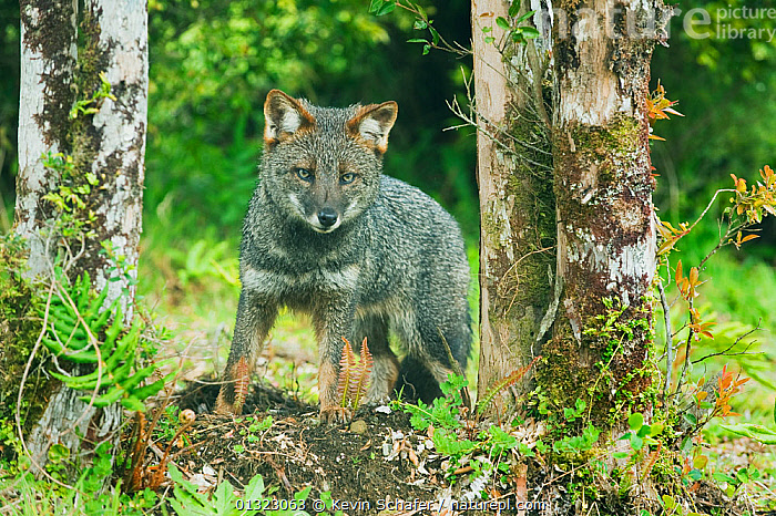 Darwin's Fox (Pseudalopex fulvipes) portrait standing in temperate rainforest, Chiloe Island, Chile, November, Critically Endangered  ,  CANIDAE,CARNIVORE,CHILE,CRITICALLY ENDANGERED,ENDEMIC,FORESTS,FOXES,MAMMALS,PORTRAITS,SOUTH AMERICA,STANDING,TEMPERATE,TEMPERATE RAINFOREST,TREES,VERTEBRATES,PLANTS,Dogs,Canids  ,  Kevin Schafer
