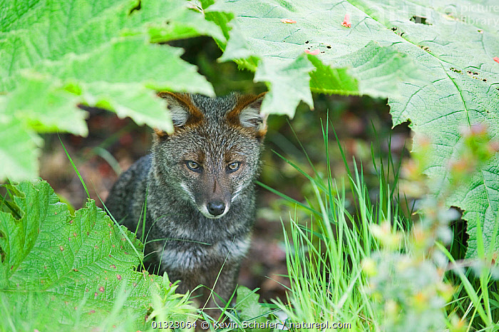 Darwin's Fox (Pseudalopex fulvipes) portrait sitting in temperate rainforest, Chiloe Island, Chile, November, Critically Endangered  ,  CANIDAE,CARNIVORE,CHILE,CRITICALLY ENDANGERED,ENDEMIC,FORESTS,FOXES,GUNNERA,MAMMALS,PORTRAITS,SOUTH AMERICA,TEMPERATE,TEMPERATE RAINFOREST,VERTEBRATES,Dogs,Canids  ,  Kevin Schafer