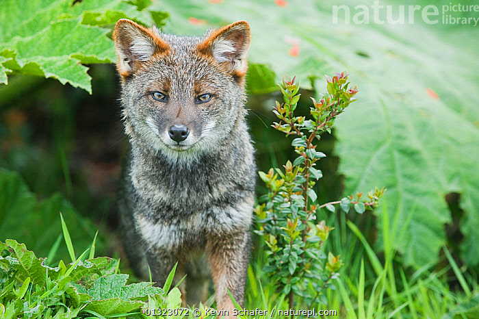 Darwin's Fox (Pseudalopex fulvipes) portrait, in temperate rainforest, Chiloe Island, Chile, November, Critically Endangered  ,  animal portrait,Canidae,carnivore,catalogue3,chile,Chiloe Island,close up,CLOSE UPS,CRITICALLY ENDANGERED,CRITICALLY ENDANGERED,cunning,ears pricked,ENDEMIC,facial expression,FORESTS,FOXES,front view,HABITAT,LEAVES,looking at camera,MAMMALS,nature,Nobody,November,one animal,outdoors,PORTRAITS,rainforest,sly,SOUTH AMERICA,STANDING,TEMPERATE,TEMPERATE RAINFOREST,VERTEBRATES,WILDLIFE,Dogs,Canids  ,  Kevin Schafer