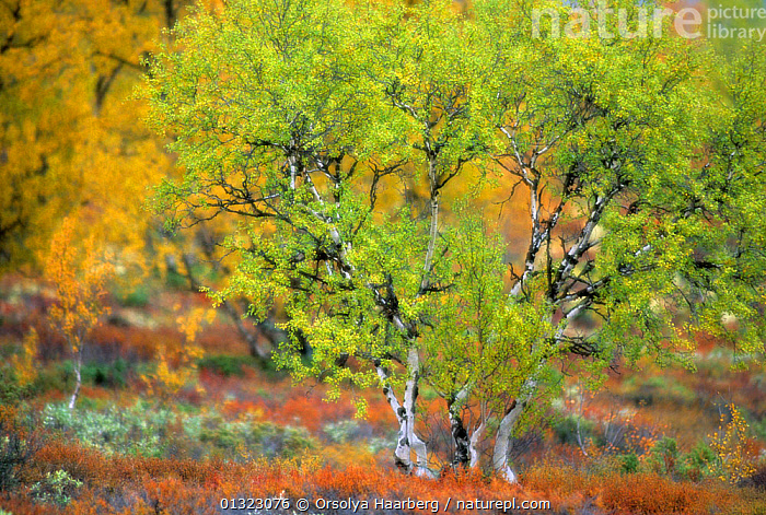 Birch forest in autumn, Dovrefjell-Sunndalsfjella National Park, Norway  ,  ARTY SHOTS,AUTUMN,BETULA,BLURRED,EUROPE,NORWAY,NP,RESERVE,SCANDINAVIA,TREES,WOODLANDS,National Park,PLANTS  ,  Orsolya Haarberg