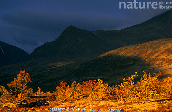Rondane National Park with cloud shadows and birch forest in autumn, Norway.  ,  AUTUMN,BETULA,CLOUDS,DRAMATIC,EUROPE,LANDSCAPES,NORWAY,NP,ORANGE,RESERVE,SCANDINAVIA,SHADOWS,Weather,National Park  ,  Orsolya Haarberg