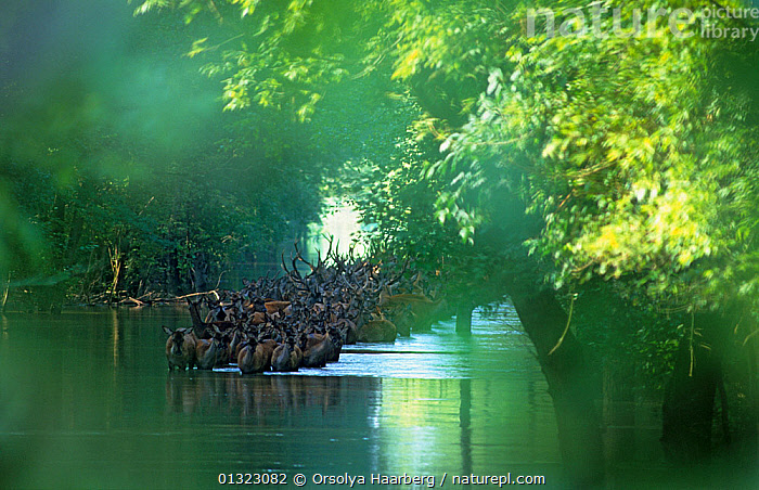 Red deer (Cervus elaphus) herd wading through water in a flooded forest, Danube-Drava National Park, Hungary.  ,  ARTIODACTYLA,BEHAVIOUR,catalogue3,CERVIDS,Danube Drava National Park,DEER,differential focus,EASTERN EUROPE,elevated view,EUROPE,flood,flooded,flooding,focus on background,forest,GREEN,GROUPS,herd,HUNGARY,LANDSCAPES,large group,large group of animals,MAMMALS,Nobody,NP,on the move,outdoors,RESERVE,river,selective focus,TREES,unity,VERTEBRATES,wading,WATER,WILDLIFE,National Park,PLANTS  ,  Orsolya Haarberg