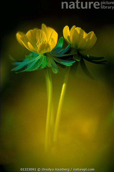 Winter aconite (Eranthis hyemalis) flowers, Szatmar-Bereg, Hungary.  ,  ARTY SHOTS,catalogue3,close up,CLOSE UPS,DICOTYLEDONS,differential focus,EASTERN EUROPE,EUROPE,flower,flowerhead,FLOWERS,GROWTH,HUNGARY,nature,new life,Nobody,outdoors,plant portrait,PLANTS,RANUNCULACEAE,selective focus,soft focus,SPRING,Szatmar Bereg,two objects,VERTICAL,YELLOW,Concepts  ,  Orsolya Haarberg
