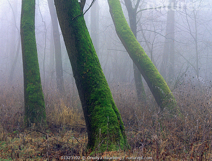 Moss-covered Ash tree trunks in forest, Danube-Drava National Park, Hungary.  ,  DECIDUOUS,EASTERN EUROPE,EUROPE,FRAXINUS,HUNGARY,MIST,MOSS,NP,RESERVE,TRUNKS,WOODLANDS,National Park  ,  Orsolya Haarberg