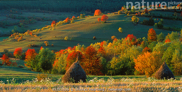Autumn landscape with traditional haystacks in foreground, Mures, Romania.  ,  AUTUMN,COLOURFUL,CROPS,EASTERN EUROPE,HAY,LANDSCAPES,ORANGE,TREES,PLANTS  ,  Orsolya Haarberg