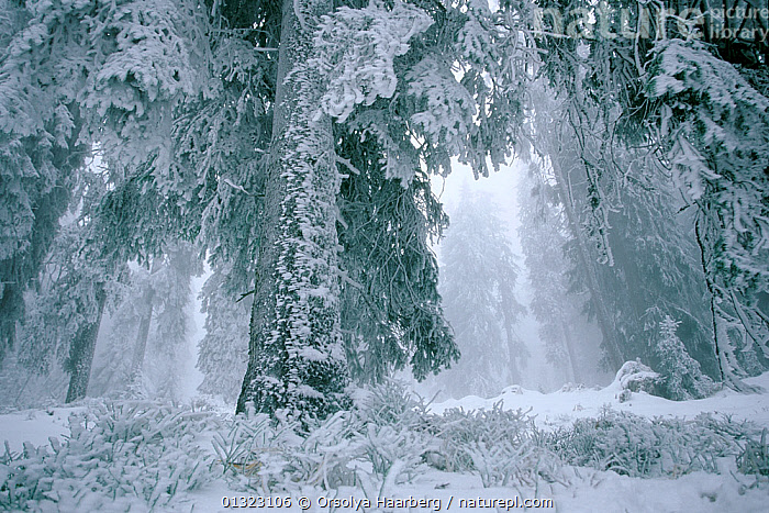 Spruce trees covered in hard frost, coniferous forest in winter, Harghita, Romania.  ,  adverse conditions,bad weather,catalogue3,COLD,CONIFEROUS,EASTERN EUROPE,forest,FROST,Frozen,hard frost,Harghita,ICE,low angle view,MIST,misty,nature,Nobody,outdoors,Romania,SNOW,TREES,treetrunk,WHITE,WINTER,WOODLANDS,Weather,PLANTS  ,  Orsolya Haarberg