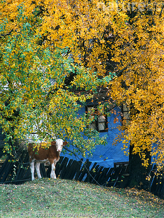Calf amongst birch trees with traditional wattle house in the background, Izvoare, Harghita, Romania.  ,  BETULA,BUILDINGS,CALF,CATTLE,COW,EASTERN EUROPE,EUROPE,LANDSCAPES,LIVESTOCK,TRADITIONAL,TREES,VERTICAL,PLANTS  ,  Orsolya Haarberg