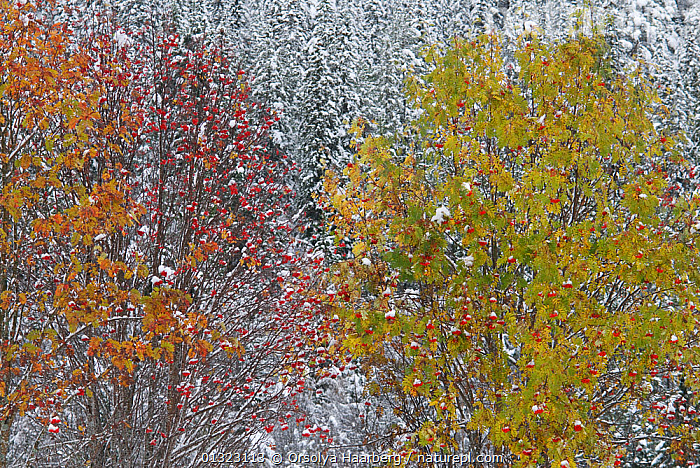 Autumn-coloured trees with berries in snow-covered forest, Sor-Trondelag, Norway.  ,  ABSTRACT,ARTY SHOTS,AUTUMN,BERRIES,CONIFEROUS,EUROPE,NORWAY,SCANDINAVIA,SNOW,TREES,WINTER,PLANTS  ,  Orsolya Haarberg