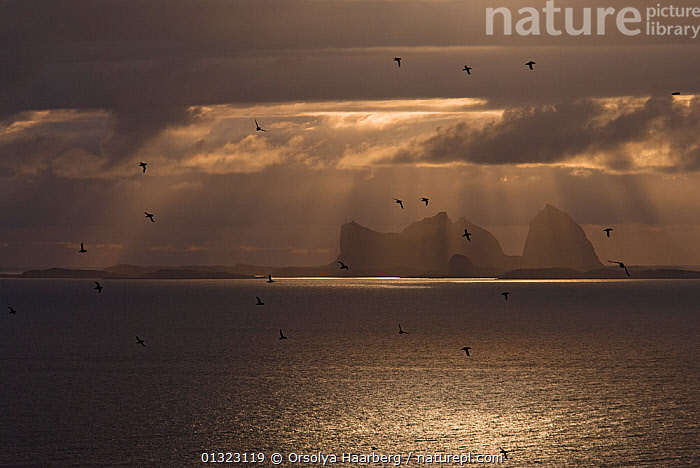 Silhouette of flock of Atlantic puffin (Fratercula arctica) with the Taena Archipelago in the background, Lovund, Helgeland, Nordland, Norway, midnight sun, June 2006.  ,  ARCTIC,BIRDS,CLOUDS,DRAMATIC,EUROPE,FLOCKS,FLYING,NIGHT,NORWAY,SCANDINAVIA,SEABIRDS,SILHOUETTES,SUMMER,SUN,Weather,CONCEPTS  ,  Orsolya Haarberg
