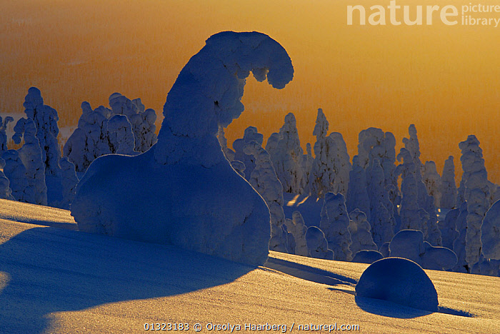 Winter landscape with snow-covered trees in forest, Riisitunturi National Park, Lapland, Finland, February 2007  ,  ARCTIC,EUROPE,FINLAND,LANDSCAPES,LAPLAND,LIGHT,NP,SCANDINAVIA,SHADOWS,SNOW,TREES,WINTER,National Park,PLANTS  ,  Orsolya Haarberg