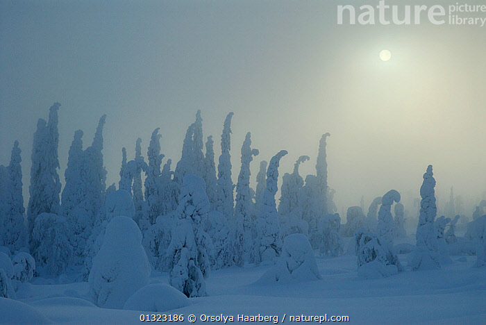 Winter landscape with snow-covered trees in forest and weak winter sun, Riisitunturi National Park, Lapland, Finland, February 2007  ,  ARCTIC,EUROPE,FINLAND,LANDSCAPES,LAPLAND,NP,RESERVE,SCANDINAVIA,SNOW,SUN,TREES,WINTER,National Park,PLANTS  ,  Orsolya Haarberg