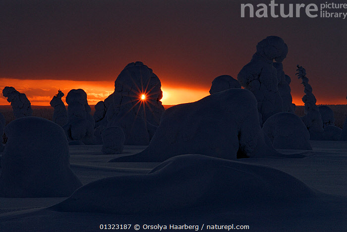 Winter landscape with silhouettes of snow-covered trees in forest, Riisitunturi National Park, Lapland, Finland, February 2007  ,  ARCTIC,EUROPE,FINLAND,LANDSCAPES,LAPLAND,NIGHT,SCANDINAVIA,SILHOUETTES,SNOW,SUNSET,WINTER  ,  Orsolya Haarberg