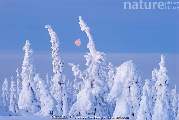 Winter landscape with snow-covered trees in forest, Riisitunturi National Park, Lapland, Finland, February 2007  ,  ARCTIC,BLUE,COLD,EUROPE,FINLAND,LANDSCAPES,LAPLAND,NP,RESERVE,SCANDINAVIA,SNOW,SUN,WHITE,WINTER,National Park  ,  Orsolya Haarberg