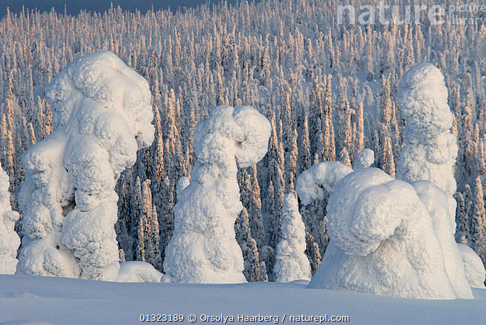 Winter landscape with snow-covered trees in forest, Riisitunturi National Park, Lapland, Finland, February 2007  ,  ARCTIC,EUROPE,FINLAND,FOREST,LANDSCAPES,LAPLAND,NP,RESERVE,SCANDINAVIA,SNOW,TREES,WHITE,WINTER,WOODLANDS,National Park,PLANTS  ,  Orsolya Haarberg