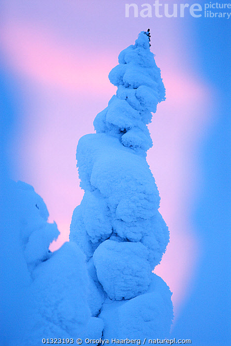 Snow-covered tree, Riisitunturi National Park, Lapland, Finland, February 2007  ,  ABSTRACT,ARCTIC,EUROPE,FINLAND,LAPLAND,NP,RESERVE,SCANDINAVIA,SNOW,TREES,VERTICAL,WHITE,WINTER,National Park,PLANTS  ,  Orsolya Haarberg