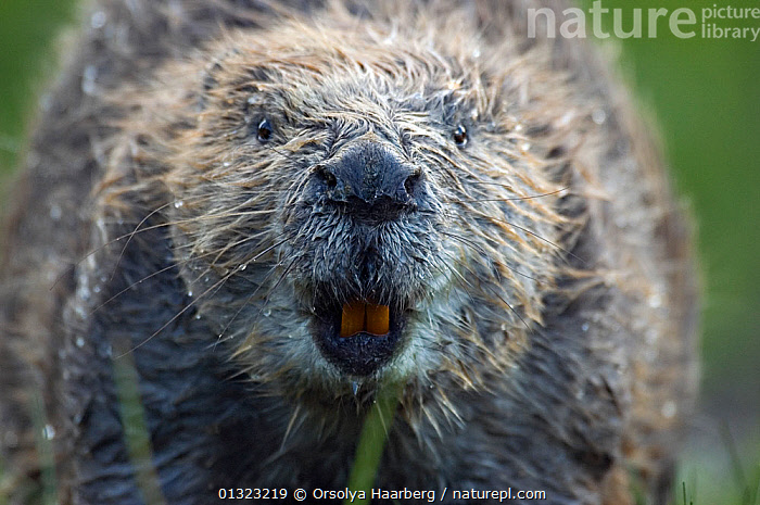 Eurasian beaver (Castor fiber) sniffing, Telemark, Norway, June, animal head,animal portrait,BEAVERS,BEHAVIOUR,castoridae,catalogue3,close up,CLOSE UPS,curiosity,EUROPE,FACES,facial expression,front view,FUR,grey,HEADS,HUMOROUS,humour,MAMMALS,MOUTHS,Nobody,NORWAY,NOSES,Nosy,one animal,outdoors,PORTRAITS,rodents,SCANDINAVIA,sniffing,TEETH,Telemark,VERTEBRATES,wet,WILDLIFE,Concepts, Orsolya Haarberg