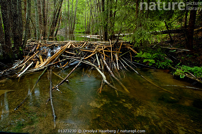 Eurasian beaver (Castor fiber) dam built from cut branches and tree trunks, Telemark, Norway, April  ,  BEAVERS,BEHAVIOUR,BUILDING,CASTORIDAE,DAM,DAMAGE,DAMS,EUROPE,MAMMALS,NORWAY,RIVERS,RODENTS,SCANDINAVIA,VERTEBRATES,WATER  ,  Orsolya Haarberg
